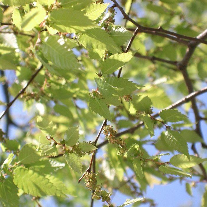 Japanese Zelkova (Zelkova serrata)