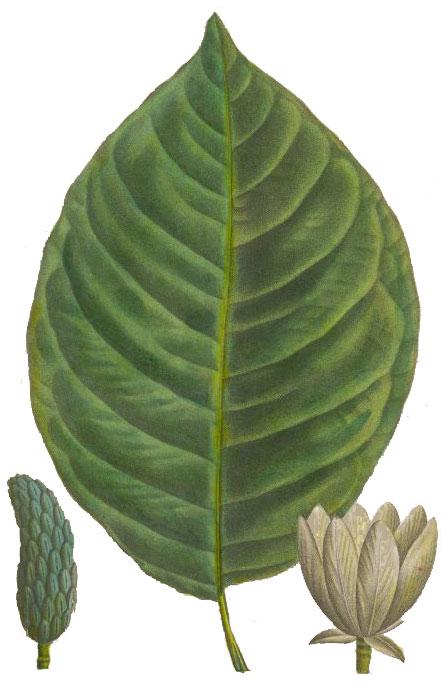 Cucumber Magnolia Magnolia Acuminata National Museum Of American