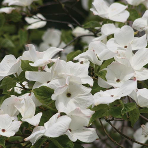 Dogwood (Cornus x)