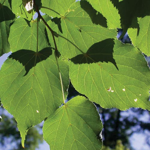 American Linden (Tilia americana)
