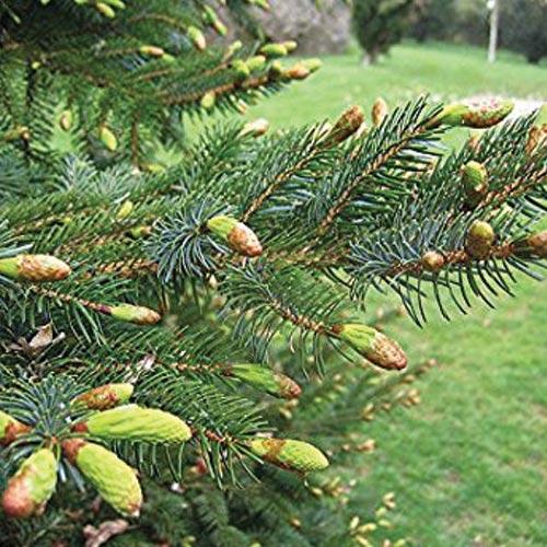 Jezo Spruce (Picea jezoensis)
